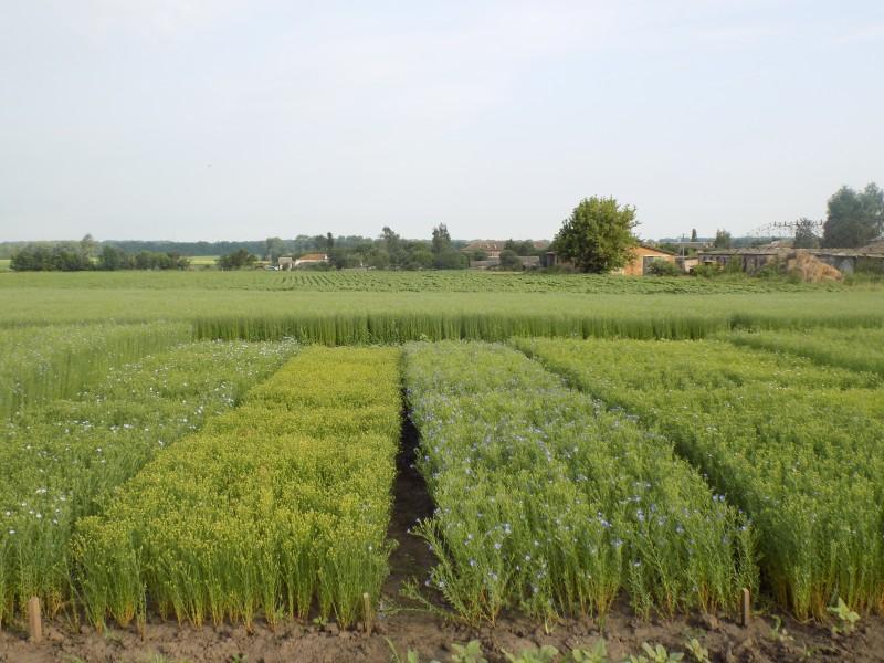 flax_1