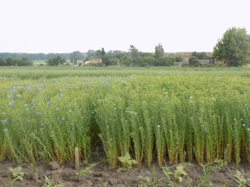flax_5